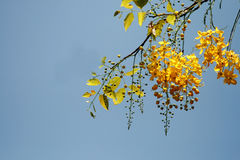 Tree branches. With yellow leaves and flowers against blue sky background Royalty Free Stock Images