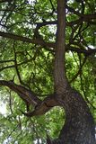 Tree and Branches Royalty Free Stock Images