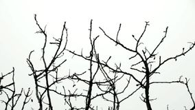 Tree branches. Swaying in the breeze. Black and white stock video