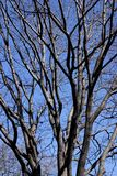 Tree branches. Branches in a tree without leaves Royalty Free Stock Photography