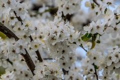 Tree branches with abundant white blooms. Tree branches with abundant blooms. Lots of white flowers and yellow pollen. Blurred background of branches, blossom royalty free stock image