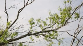 Tree branches against blue sky. Panoramic shot of tree branches against blue sky stock video footage