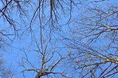 Tree branches against the blue sky in spring in forest Royalty Free Stock Photo