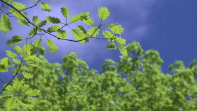 Tree branches against blue sky (1 of 2). A view or scene of Nature stock video
