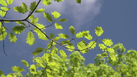 Tree branches against blue sky (2 of 2). A view or scene of Nature stock video footage
