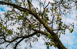 Tree branches. Against a cloudy sky stock photography
