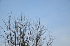 Tree branches against the sky.  Royalty Free Stock Photography