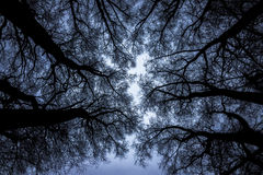 Tree branches against the sky. Very dense tree branches against the dark sky, bottom view of the top Stock Photography