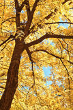Tree branches in autumn sunlight Royalty Free Stock Photo