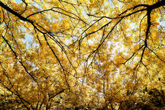 Tree branches in autumn sunlight Royalty Free Stock Photos