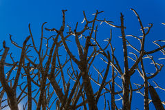 Tree Branches Bare. Winter tree branches still bare of summer leaves leaving the branches contrasted against the clear blue sky Royalty Free Stock Image