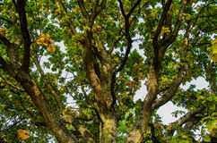 Tree branches. Big tree with many branches Royalty Free Stock Photo