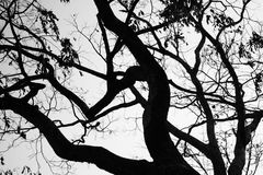 Tree branches black and white Royalty Free Stock Photography