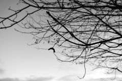 Tree branches, black and white silhouette Royalty Free Stock Photos