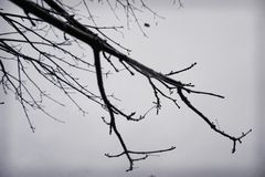 Tree branches, black and white silhouette Royalty Free Stock Photo