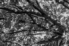 Tree Branches Black and White. Texture of trees in Black and White in Setting Sun Stock Image