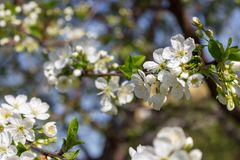 Tree branches with blooming flowers against clear blue sky. Spring blossom concept. stock images