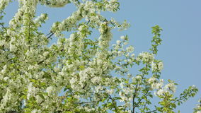 Tree branches in blossom. Against a blue sky background. Close-up. Dolly shot stock footage