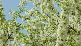 Tree branches in blossom. Against a blue sky background. Close-up shot stock video