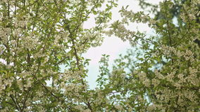 Tree branches in blossom. Against a blue sky background. Close-up shot stock video footage