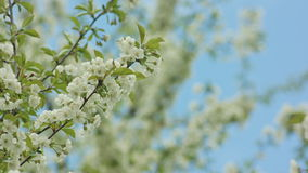 Tree branches in blossom. Against a blue sky background. Close-up shot. Soft focus stock video footage