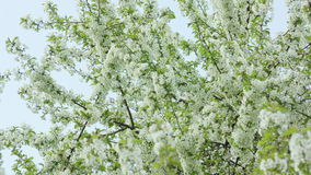 Tree branches in blossom. Against a blue sky background. Close-up shot. Soft focus stock footage