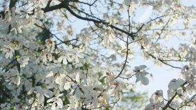 Tree Branches in Blossom Royalty Free Stock Image