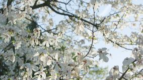 Tree Branches in Blossom. Against a blue sky background. Close-up shot. Soft focus stock video