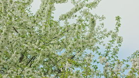 Tree Branches in Blossom. Against a blue sky background. Dolly shot stock footage