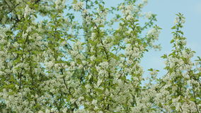 Tree Branches in Blossom. Against a blue sky background. Dolly shot stock video