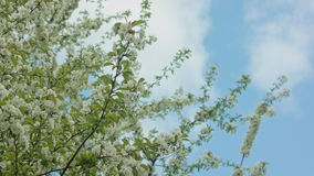 Tree branches in blossom. Against a blue sky background. Dolly shot stock video footage