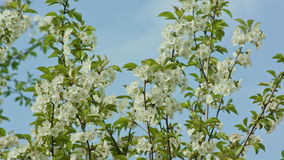 Tree branches in blossom. Against a blue sky background. Macro close-up. Dolly shot stock footage