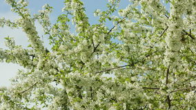 Tree branches in blossom. Against a blue sky background. Macro close-up. Dolly shot stock video footage