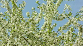 Tree branches in blossom. Against a blue sky background. Macro close-up. Dolly shot stock video