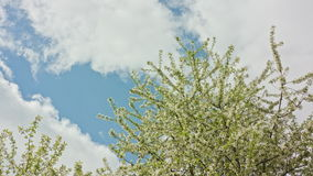 Tree Branches in Blossom. Against a blue sky and floating clouds background. Long shot stock footage