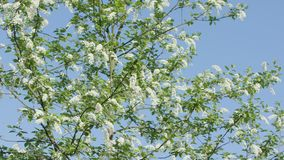 Tree Branches in Blossom Stock Image