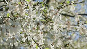 Tree Branches in Blossom. Against a blue sky background. Close-up shot stock footage