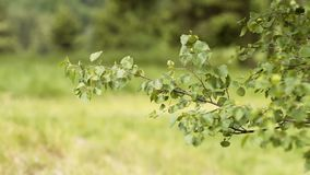 Tree Branches Blowing In Strong Wind. Trees In Strong Wind, Disaster, windy weather, strong wind in woods stock footage