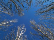 Tree branches. And blue sky in winter Stock Image
