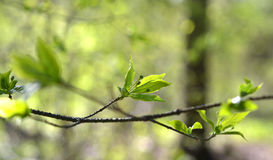 Tree branches. On a tree branch in spring bloom, young green leaves Stock Photos