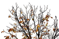 Tree branches with brown leaves Royalty Free Stock Photography
