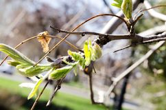 Tree branches. The buds of the tree. Blooming trees. Young leaves. Spring Park. Green grass. Field of grass. Urban nature in the spring. Tree. Tree bark. Blue stock photos