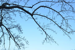 Tree branches with buds early April morning blue sky Royalty Free Stock Photos