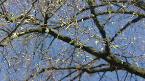 Tree Branches with Buds Royalty Free Stock Photo