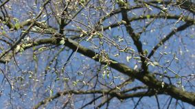 Tree Branches with Buds. Against a blue sky background. Close-up shot stock video