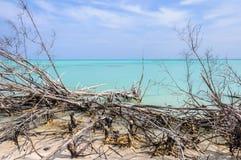 Tree branches in Cayo Levisa Island in Cuba Stock Photos