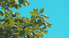 Tree branches chestnut with green leaves blue sky background poplar rocking in the wind slow motion video. lifestyle. Tree branches chestnut with green leaves stock video footage
