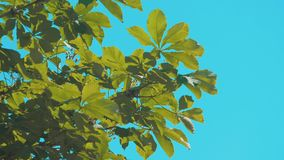 Tree branches chestnut with green leaves blue sky background poplar rocking in the wind slow motion video. nature. Tree branches chestnut with green leaves blue stock video
