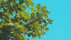 Tree branches chestnut with green leaves blue sky background poplar rocking in the wind slow motion video. nature. Tree branches chestnut with green leaves blue stock video footage