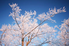 Tree branches in winter Royalty Free Stock Photos